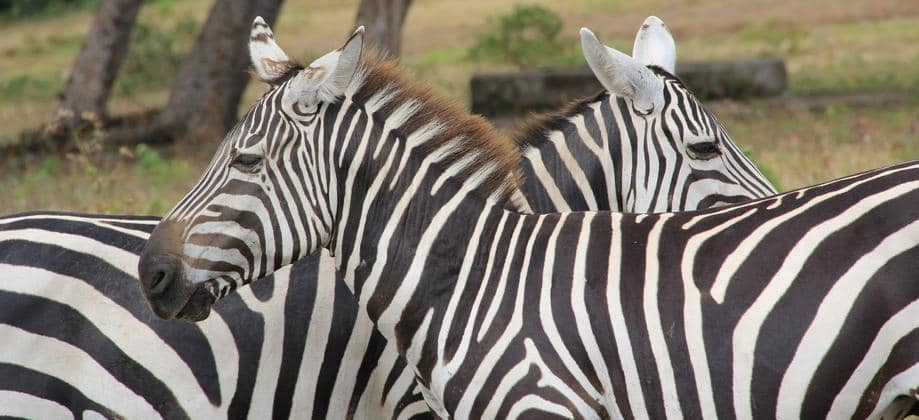 Coron Island - zebras spotted during the safari